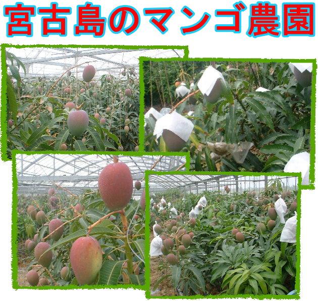 マンゴ農園
