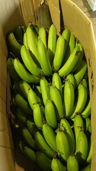 画像1: ≪早いもの勝ち!!≫甘いバナナ・沖縄県産三尺バナナ2kg 【配達日指定不可】