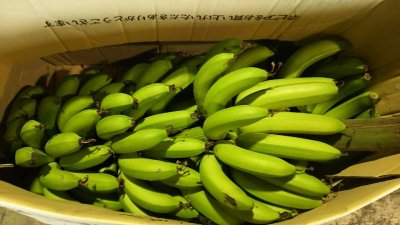 画像3: ≪早いもの勝ち!!≫甘いバナナ・沖縄県産三尺バナナ2kg 【配達日指定不可】