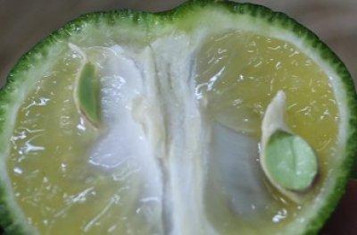 画像1: 沖縄県産 カーブチー 約10kg 昔ながらの沖縄みかん 香りでリラックスできる【発送9月〜11月】