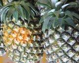 【送料無料】沖縄県産 石垣島産の美味しい パイナップル 7〜10個入り 8-10kg ハワイ種
