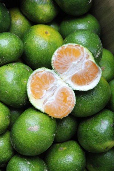 画像1: 【運動会みかん】甘酸っぱい美味しい 沖縄県産青切りみかん約2kg ちょい訳あり品