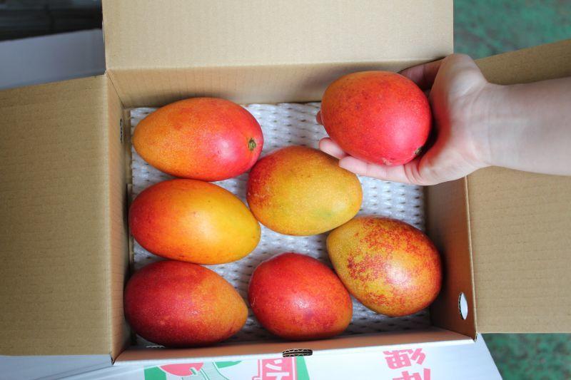画像1: 【少し訳あり】 少し追加しました。早出し沖縄県産アップルミニマンゴー約1kg 【4〜9玉】配達日指定不可 (1)