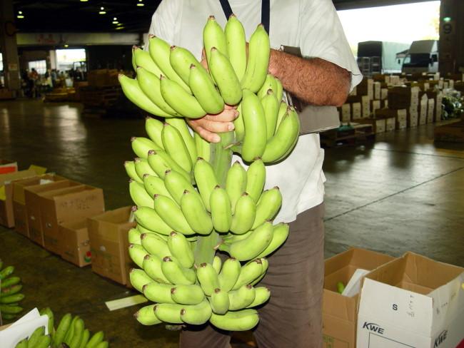 画像1: 島バナナ 3kg【発送は7月より】【配達日指定不可】 (1)